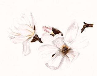 flor magnolia p