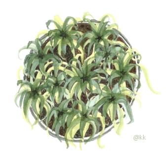 plantapotebromeliap