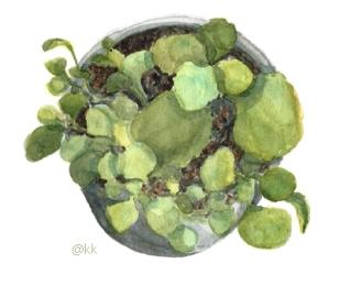 plantapotedolarp